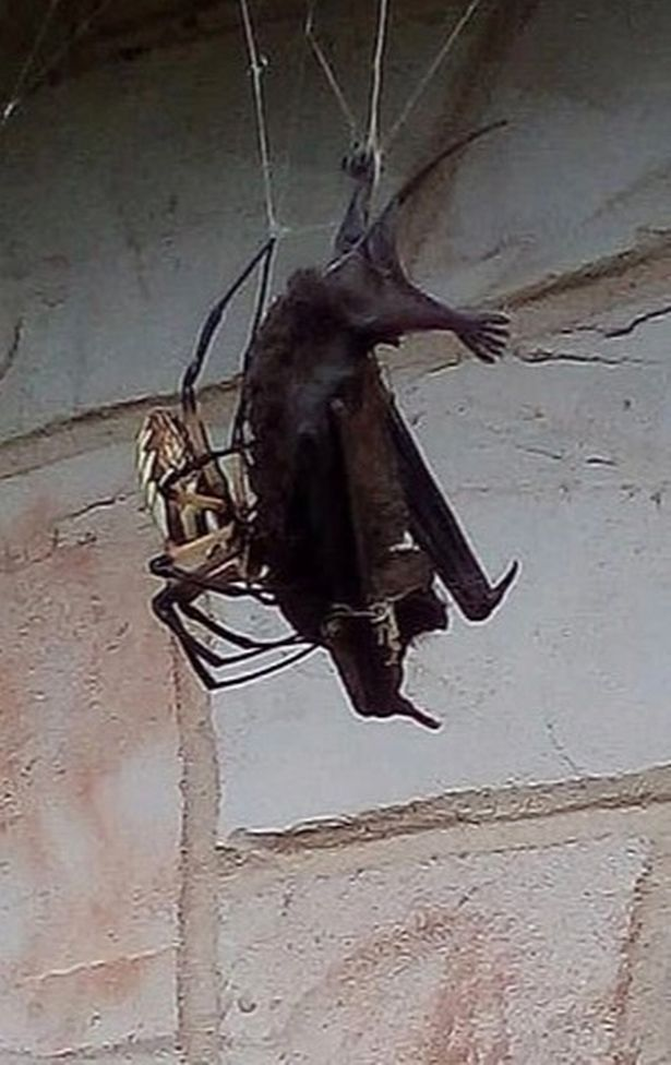 Massive spider catches bat in its web outside texas home