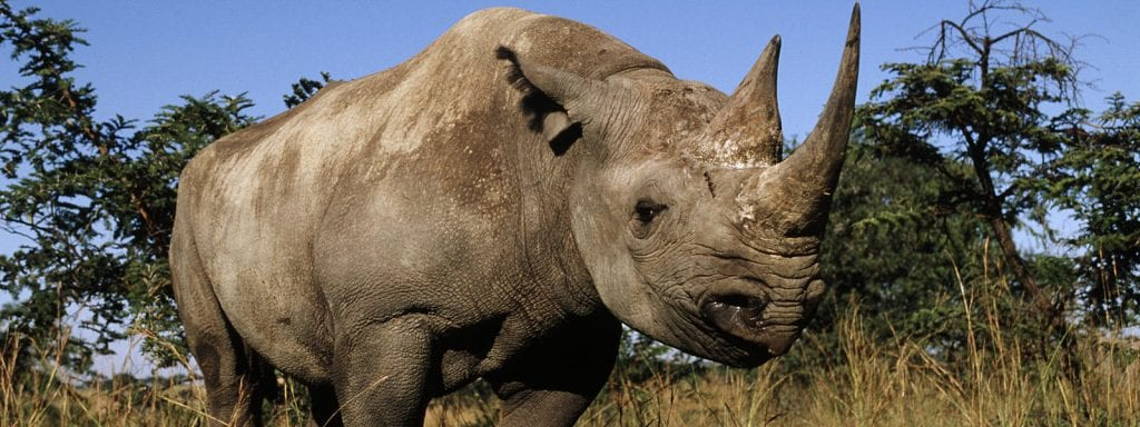 South Africa Increases Amount Of Black Rhinos To Be Killed By Trophy Hunters