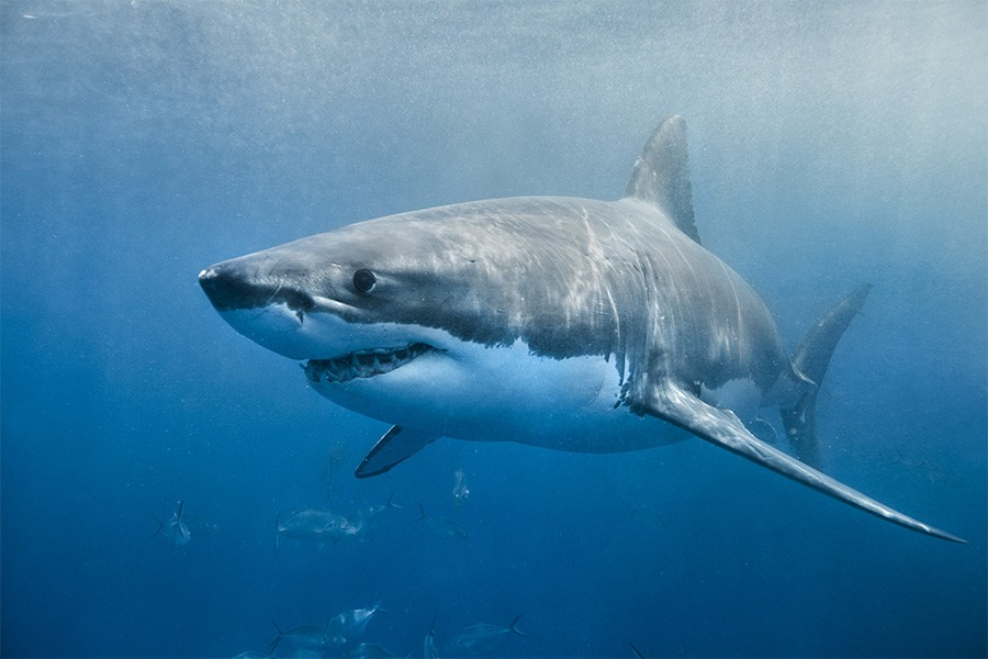 Great White Sharks Are 'Bullying' People Out Of The Sea