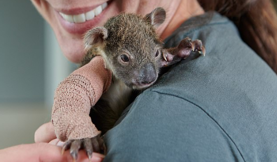 Baby Koala gets fitted with a cast after breaking its arm falling from a tree