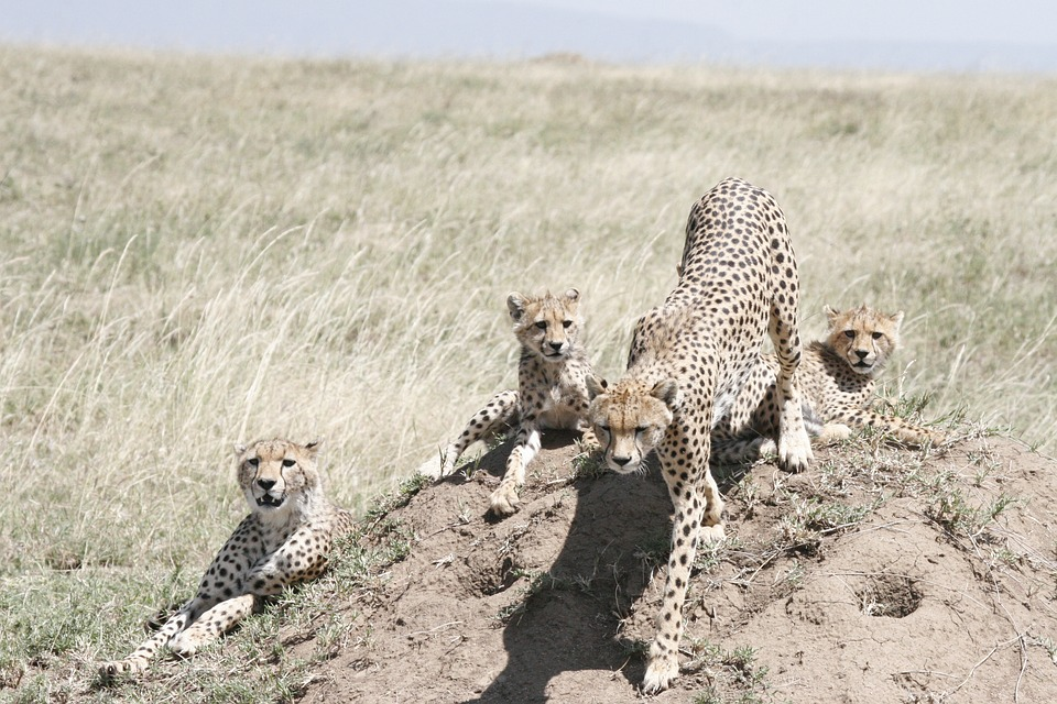 29 Cheetah Cubs Rescued From Wildlife Smugglers in Somaliland