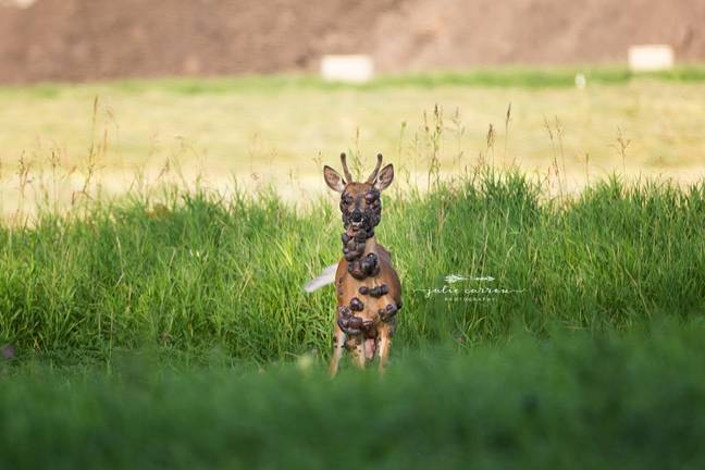 Photographer discovers deer covered in large tumors