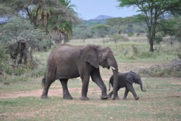 Trade In Baby Elephants Taken From The Wild Banned Internationally