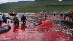locals look on as 23 pilot whales are slaughtered in the Faroe Islands