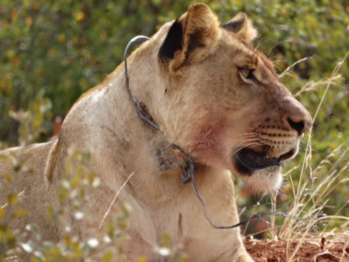 Snare Poaching Increasing In Kruger National Park