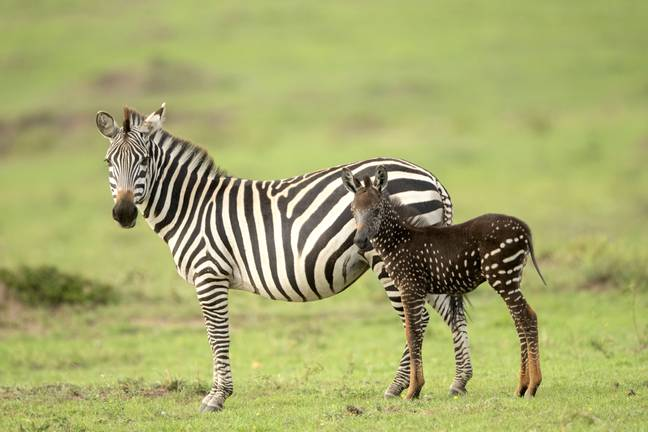 Polka-Dotted Zebra Discovered In Kenya