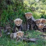 Cheetah Gives Birth To Litter Of 7 Cubs