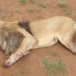 Poachers Butcher Third Lion Pride In A Month In South Africa