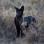 Jet Black Serval Spotted In The Serengeti