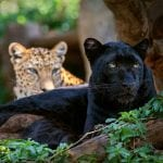 Rare Wild Black Leopard Spotted In South Africa