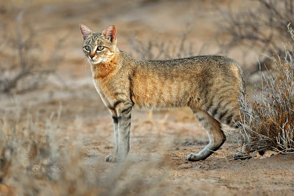 https://africanconservation.org/african-wildcats-under-threat-of-hybridization-by-domestic-and-stray-cats/