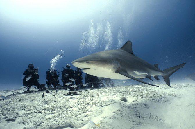 The Sharks Of The Bahamas